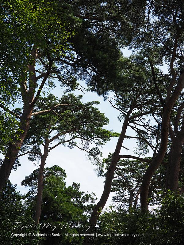 Trees on Fukuura Island